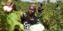 Revamped regulations could accelerate Kenya's GM, insect-resistant, Bt cotton approval