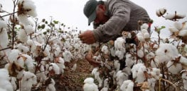 'Lose-lose situation': Facing unprofitable organic farming, Mexico cotton growers resort to illegally planting GMO seeds