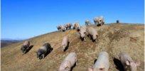 pig farming in japan