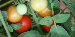 Engineered tomatoes kill whiteflies by 'silencing' gene that protects them from pesticides