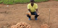 Banned in Uganda: While the Irish potato faces disease and climate change, politics stymie farmers eager to adopt still unapproved GM seeds
