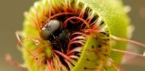 'Little crop of horrors'? Genes harvested from carnivorous plants and genetically engineered into tomatoes and other crops could fend off pests