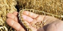 Draught-wracked Australia and Asia: Still unapproved sustainable genetically-engineered wheat poised for approval in Brazil could address climate change disruptions