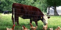 Viewpoint: 'Trading one moral catastrophe for another' — Why swapping beef for chicken won't fix animal agriculture's 'devastating' environmental impact