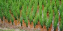 Hardier rice crops without genetic modification? Tweaking its microbiome is one option