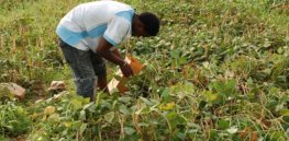 Viewpoint: 2,000 Nigerian farmers are reaping benefits from genetically modified Bt cowpea. Other African countries could leverage similar biotechnology tools