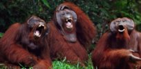 Podcast: Is laughter unique to humans? No, other animals evolved the same play behavior. Here are some examples