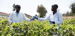 Kenya looks to gene editing to grow its key food crops