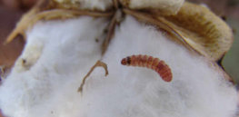 Genetically modified Bt cotton helped eradicate pink bollworm — and saved US farmers $200 million over five years. Now, scientists and farmers are deploying technology to target other pests