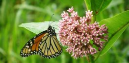 Podcast — 'We're growing food now in a way that doesn't leave room for other biodiversity':  How GMO crops are affecting the monarch butterfly and what can be done about it