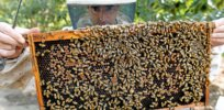 Are bees disappearing due to 'climate chaos'? Out of 250 bumblebee species around the world, only a few species are in danger