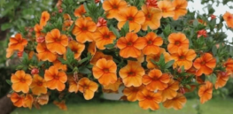 Viewpoint: 'Killer petunias'? The shameful story of the USDA's 'unscientific, innovation-stifling' process for regulating genetically-engineered flowers