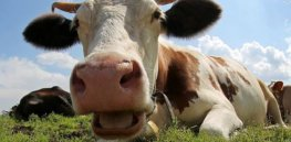 Methane emissions from burping cattle are major contributor to global warming. Here's an innovative way to address that using a 'cow cocktail'