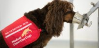 Video: Dogs are being trained to sniff out COVID-19 at large public events