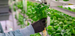 Facing an uncertain, climate-altered future, here is how scientists are revamping crops