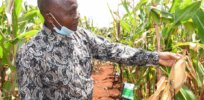 Kenya on track to commercialize GM maize by 2022 to increase yields, cut pesticide use