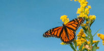 How California is teaming up with conservation groups to rescue the western monarch butterfly from extinction