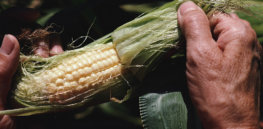 GMO prohibition: Many farmers want GE crops so badly, they'll grow them illegally