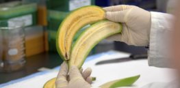 Genome editing helps African researchers develop disease-resistant banana varieties