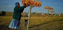 South Africa has reaped major benefits from GM maize, study finds