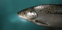 Fast-growing genetically modified salmon arrives in South America, as Brazil approves AquaBounty fish sales