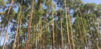 Gene editing can prevent eucalyptus from becoming invasive
