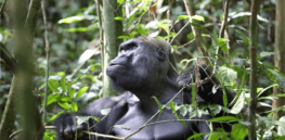 How endangered great apes provide a crucial window into human evolution — and why we should help preserve these species