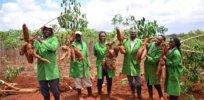 Kenya approves disease-resistant GMO cassava