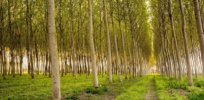 These genetically-modified poplars are easier to cut down — and can produce more bioethanol