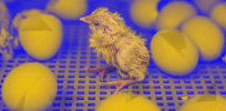 Billions of baby male chicks are slaughtered every year because they can't lay eggs. Here's how CRISPR gene editing could prevent them from being culled after birth