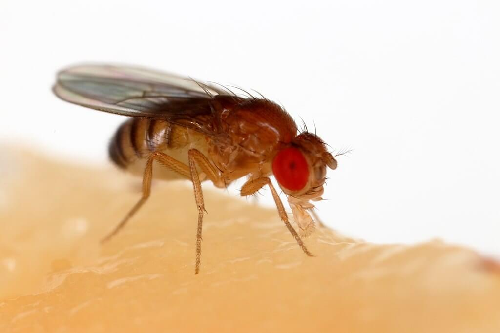 Video: Here's how synthetic flies could become a major tool in the quest to control insect-borne diseases
