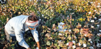 In civil disobedience challenge to ongoing GMO ban, Indian farmers' union illegally provides herbicide-resistant cotton seeds to farmers