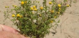 From smelly roadside nuisance to key biofuel crop? How gene editing could transform stinkweed into an essential canola alternative