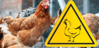 Bird flu is a major threat to chicken farming and human health. A gene-editing solution developed by African scientists is in the works