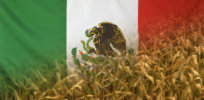 Mexico is banning US GMO corn — but not enforcing it? What's really going on?