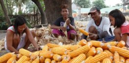'All positives': 17 years after GM corn introduction, the Philippines shows sharp increase in output and household incomes — with the poor benefiting the most
