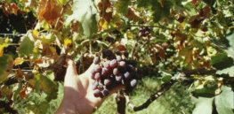 Wineries in California have been under siege for decades. There's finally hope that grapevines can be saved from bacterial disease