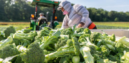 As UK veers from EU anti-biotech regulations and opens doors to gene editing, landmark study on broccoli and other brassicas highlights innovation