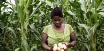As Uganda's farm economy languishes, political forces block agricultural biotech innovation