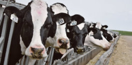 Russia positions itself as a world leader in genetically edited cows