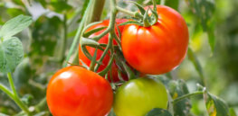 A tomato that requires no pesticides to grow?