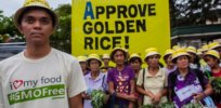 Greenpeace denounces Philippines' approval of nutrition-enhanced GMO Golden Rice