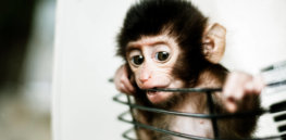 Viewpoint: 'We can't trust the biotechnology industry to act responsibly' — Why mixing human and primate cells for research purposes needs strict government oversight