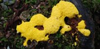 How a blobby, brainless, bright yellow slime mold is redefining our understanding of human cognition