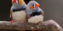 Nature study finds growth and body composition of Zebra finches are 'positively impacted' by early life exposure to low doses of neonicotinoids