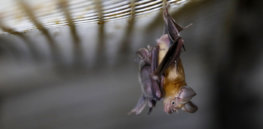 Could gene editing and gene drives alter bats to prevent future pandemics?