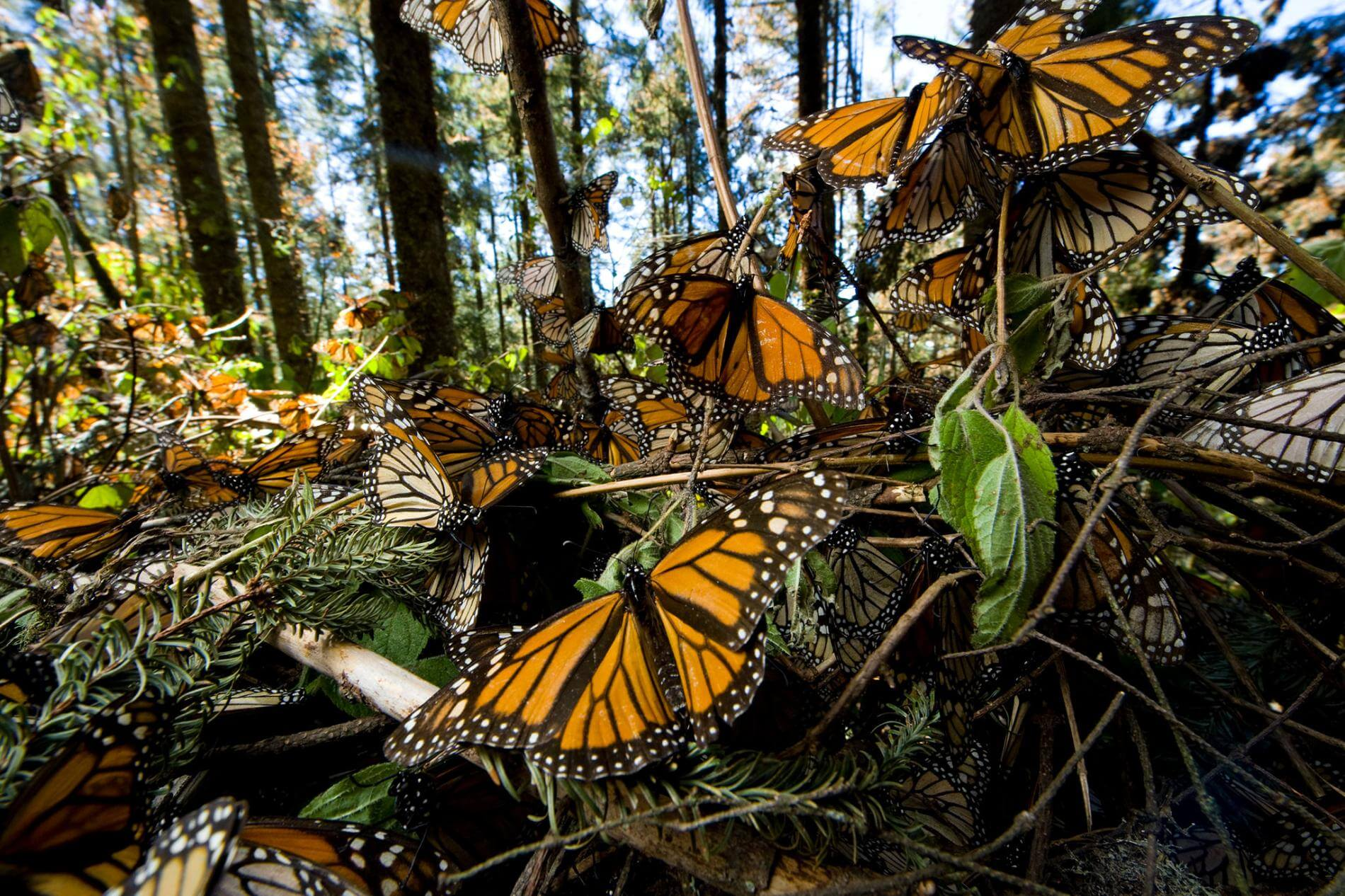 Eastern monarch butterfly is in decline, but it's not due to habitat loss or chemicals. Blame it on climate change