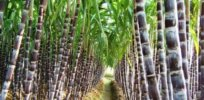 Gene editing poised to spark innovation in herbicide- and disease-resistant sugar cane