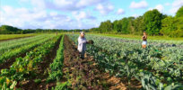 In search of sustainability: EU scientists urge policymakers to embrace both organic farming and genetically engineered crops