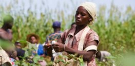 Kenya's first crop of GMO Bt insect-resistant cotton ready for harvest